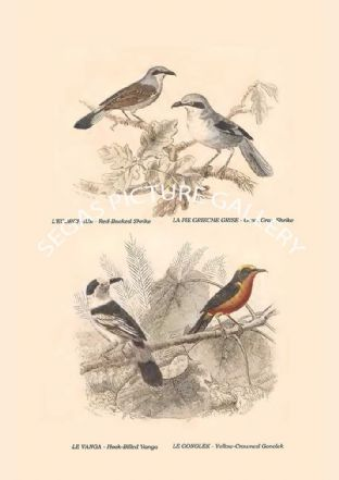 Red-Backed Shrike, Great Gray Shrike, Hook-Billed Vanga, Yellow-Crowned Gonolek